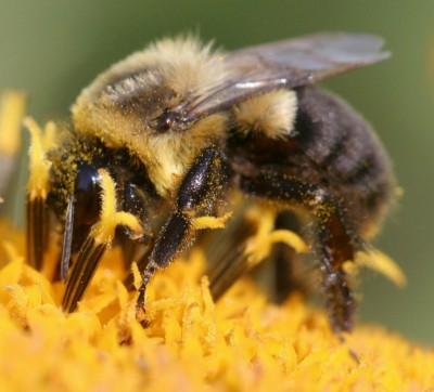 site reactions bumblebee