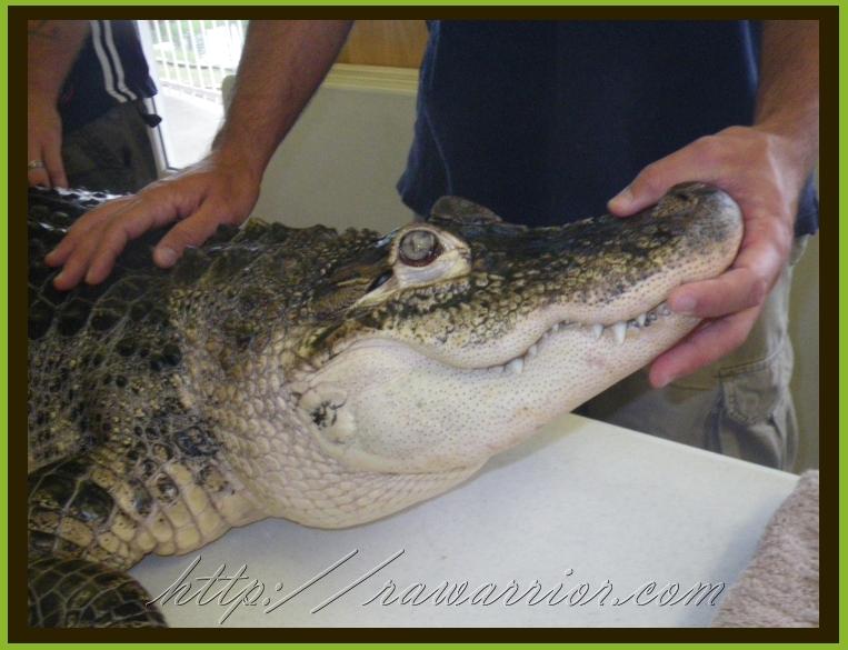 Taming an alligator