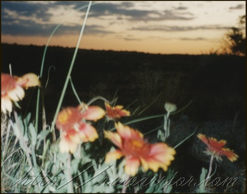 Flowers in the desert at sunset, a rare site.