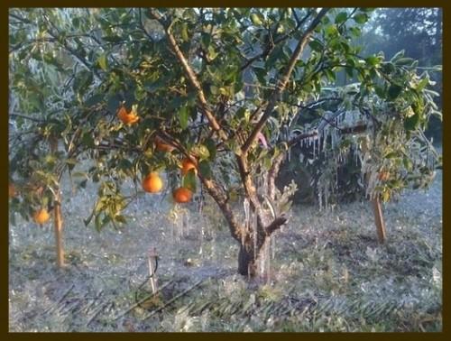 Frozen orange tree with icicles