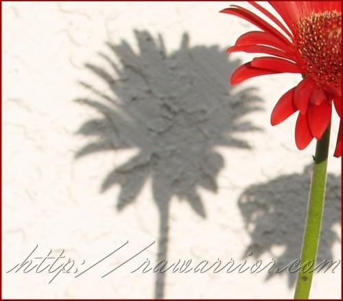 gerbera daisy shadow