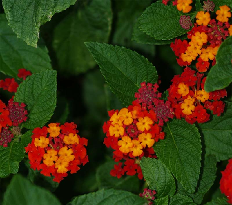RA warrior blog lantana